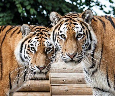 news_tigers